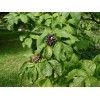 Элеутерококк сидячецветковый