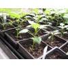 Перец — выращиваем рассаду по правилам