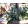 Цветная капуста: сорта, посадка, выращивание и уход, хранение