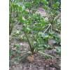 Агротехника корневого сельдерея