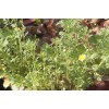 Хризантема овощная – красивая, вкусная и полезная