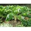Как выращивать дайкон. Полезные и целебные свойства дайкона