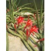 Апорокактус — «крысиный хвост» с роскошными цветками