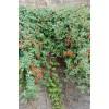 Вислоплодник, или Эккремокарпус — экзотическая лиана
