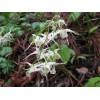Горянка, или неподражаемый цветок эльфовэпимедиум