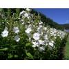 Выращиваем кустовые флоксы