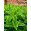 7 лекарственных растений для вашего сада