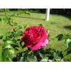 Лучшие кустарниковые розы. «Отелло» — совершенство размера XXL