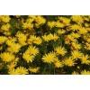Урсиния — яркие цветки стойких клиноусиков