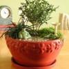 Самшит – вечнозеленое украшение сада