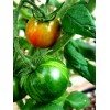 Как добиться высокого урожая томатов при выращивании в теплицах?