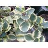 Вариегатные или пестролистные растения дома