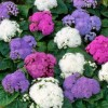 10 однолетних цветов на рассаду