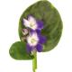 Листья фиалок