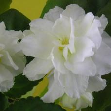 Фиалка Lemon Kisses (Лимонные поцелуи) Sorano