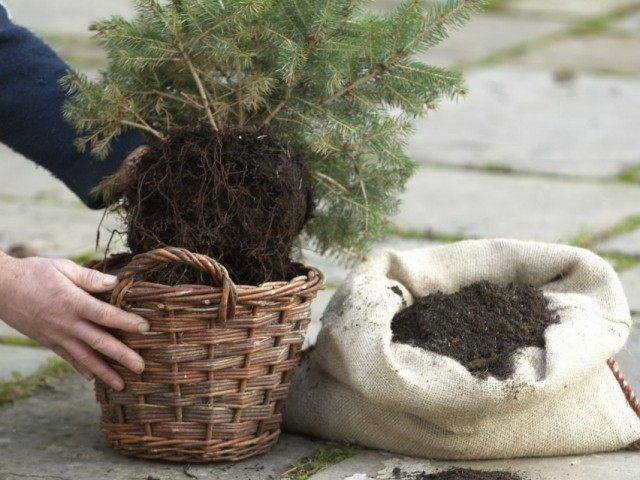 Пересадка новогодней ели в сад