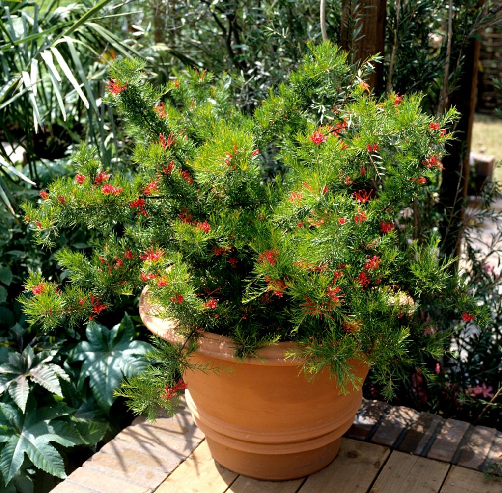 Комнатное растение гревиллея: фото и уход в домашних условиях