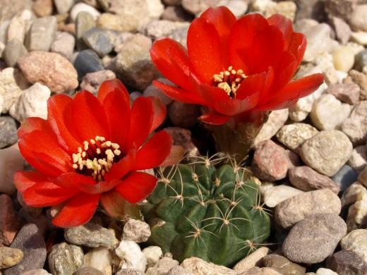 Эхинопсис Шрейтера син. Лобивия Шрейтера. (лат. Echinopsis schreiteri)