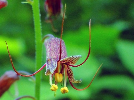 Цветок Толмии Мензиса