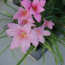 Зефирантес крошечный (Zephyranthes minuta)